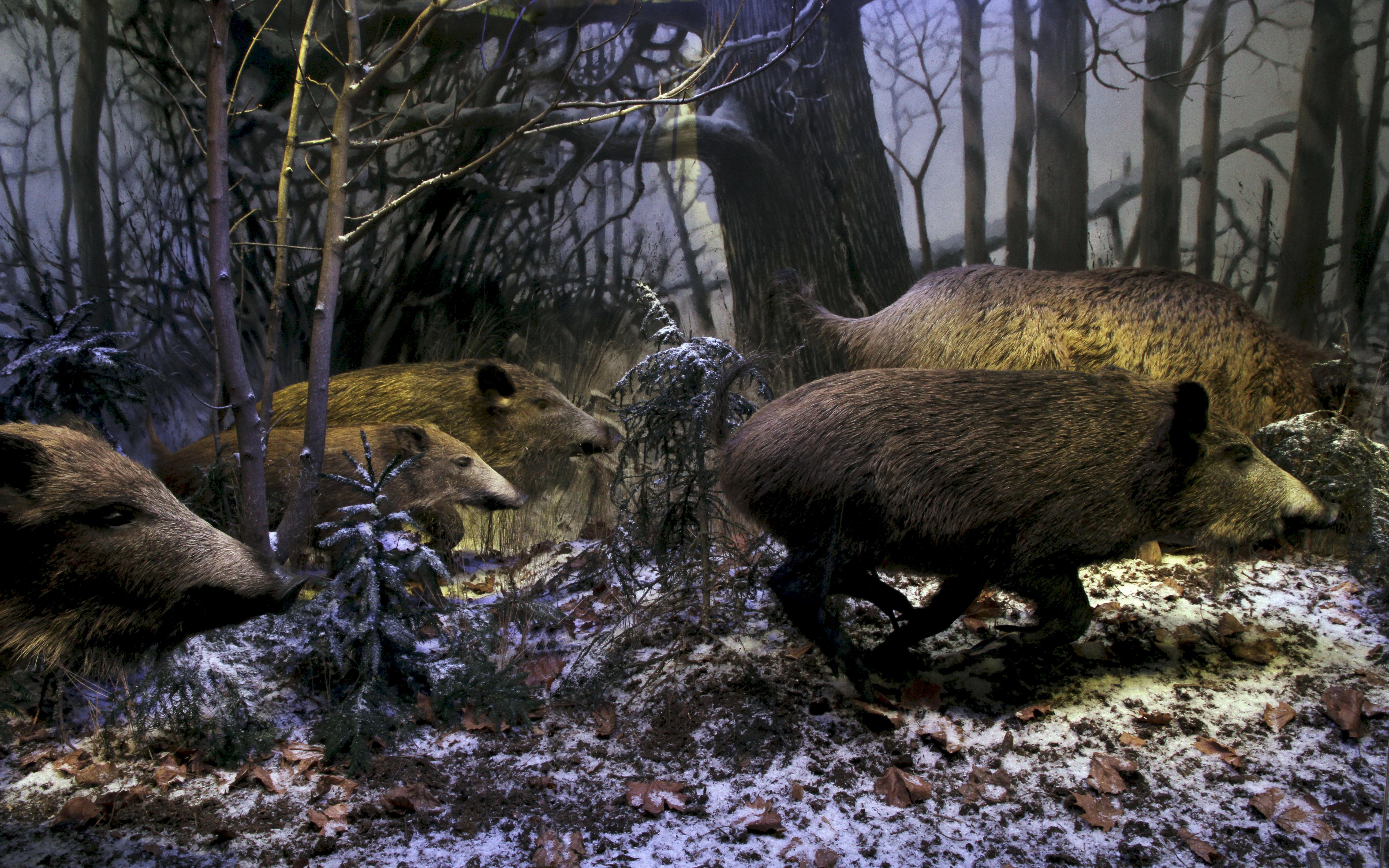 Villisikapesue Luonnontieteellisen museon Maailman luonto -näyttelyssä. Kuva: Marika Turtiainen / Luomus