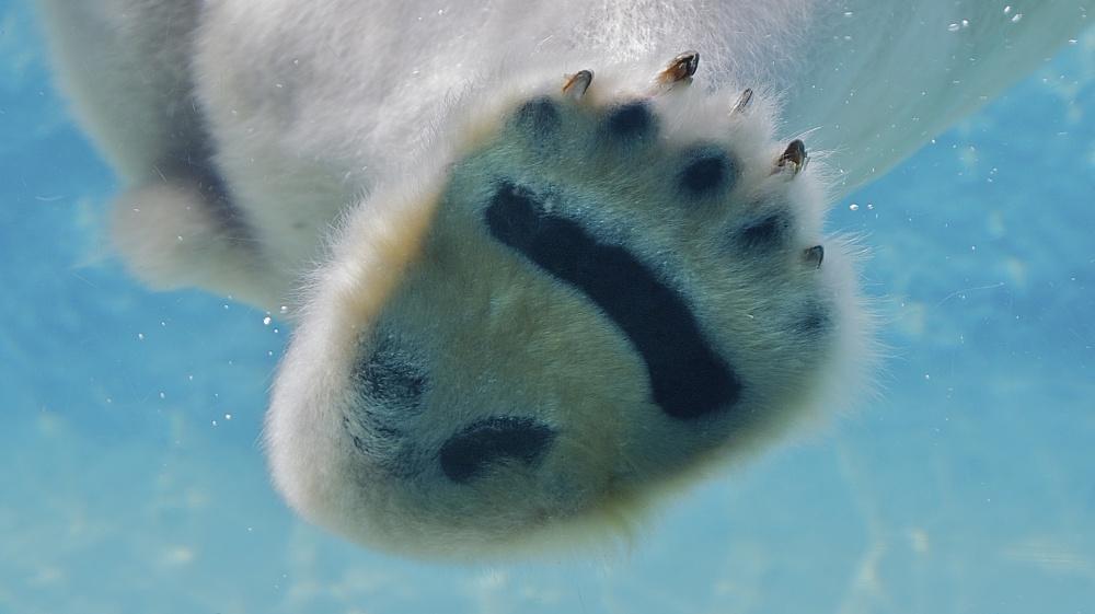 Jääkarhun käpälä
