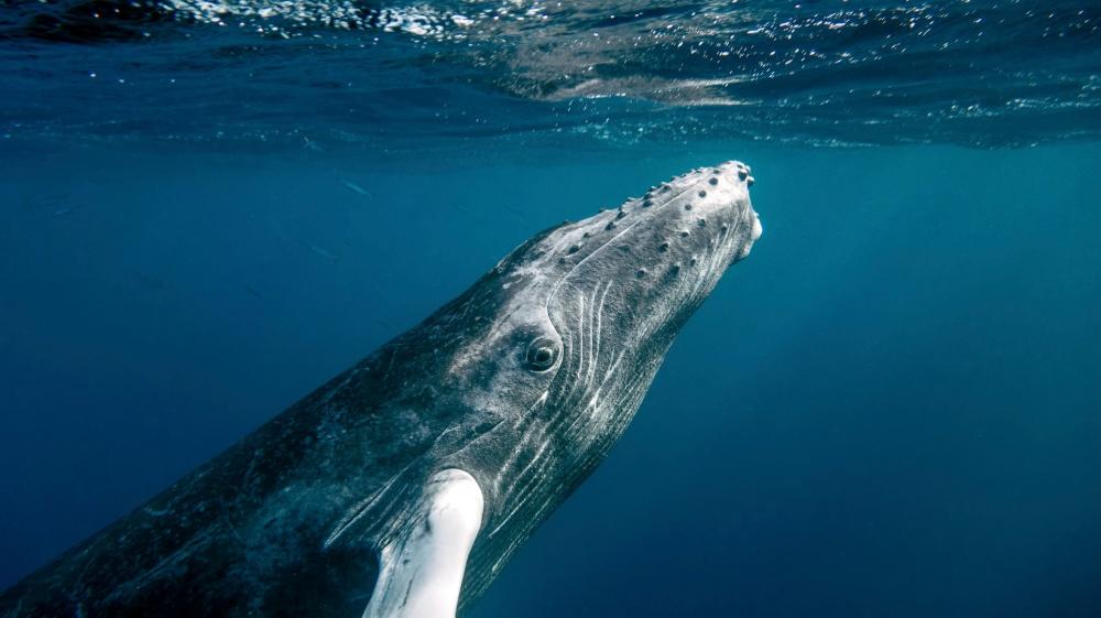 Ryhävalas
