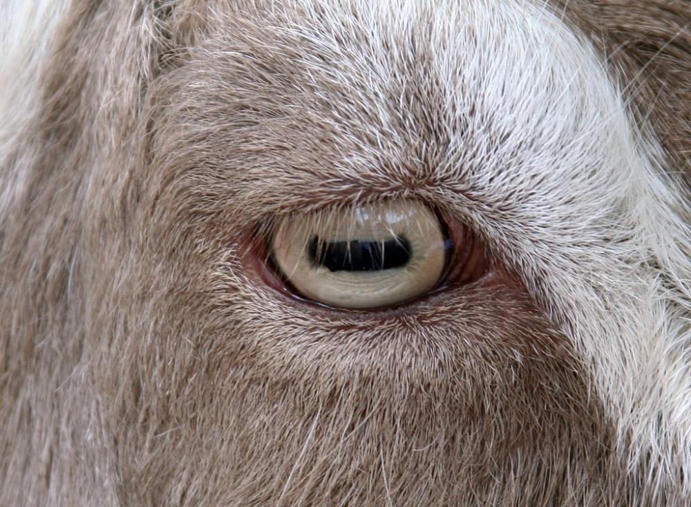 Vuohen silmä